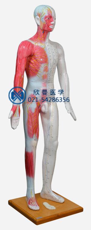 人体针灸模型整体结构特征