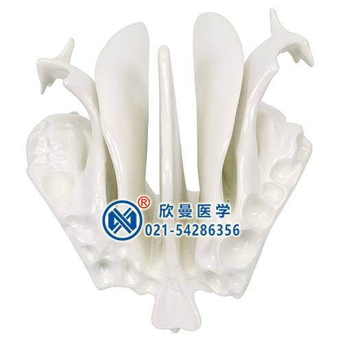 筛骨模型结构特征