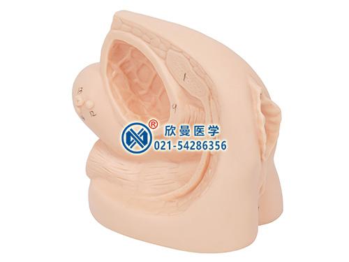 XM-ND2女性导尿外生殖器模型,女性导尿模型,女性生殖器模型