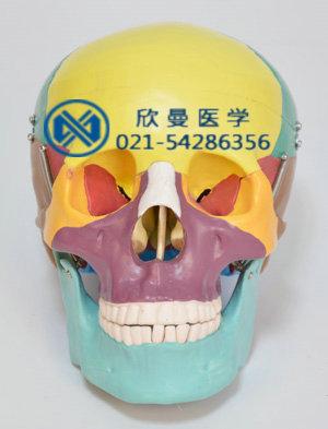 彩色头颅骨模型正面结构