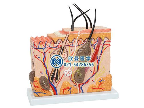 真皮组织层次结构以及皮下组织和皮肤