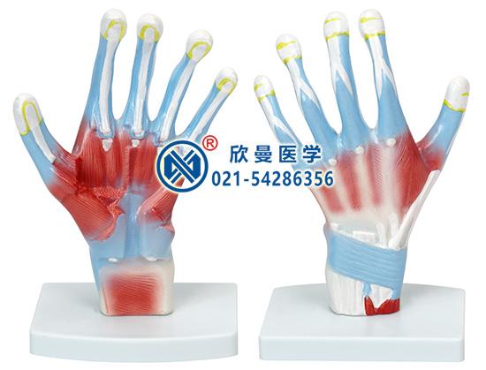 手掌解剖模型(示指深屈肌)