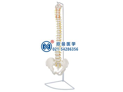 XM-129脊柱模型,脊椎模型,脊柱骨模型