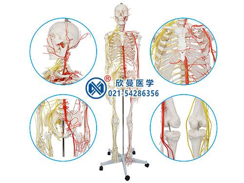 XM-110人体骨骼附动脉和神经分布模型