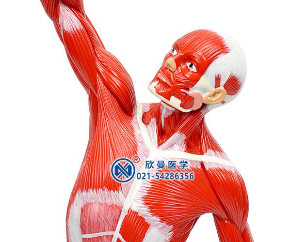 人体全身肌肉运动模型细节