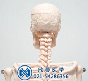 头颅骨带颈椎部位的结构