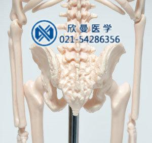 模型的尾骨部结构特征