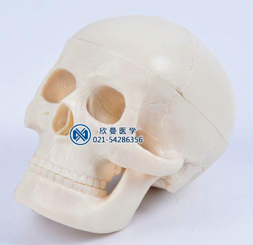 儿童头颅骨模型侧面