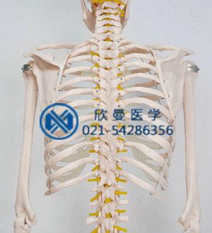 模型的胸肋骨后面结构