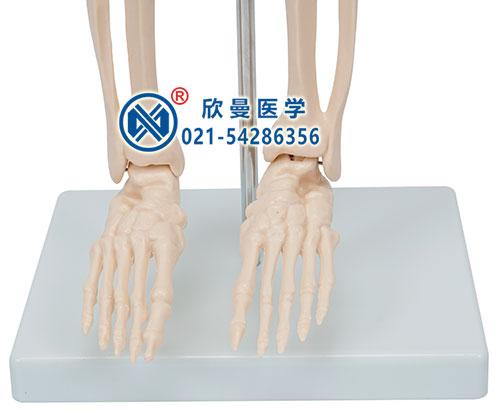 人体骨骼带神经模型(脚关节)