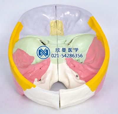 彩色颅底解剖放大模型顶部结构