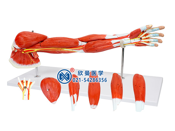 XM-305B上肢肌肉附主要血管神经模型,上肢肌肉模型