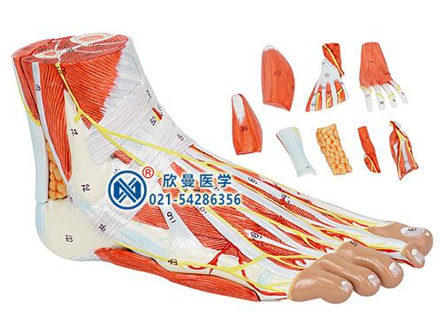 XM-320足肌附主要血管神经模型