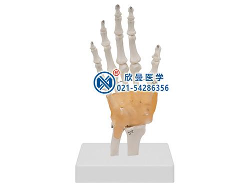 XM-142功能型手关节模型,腕关节模型