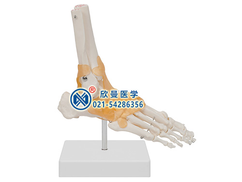 XM-140功能型足关节模型,脚关节模型,踝关节模型