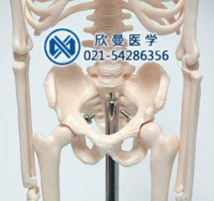 模型的骨盆与脊柱结构特征