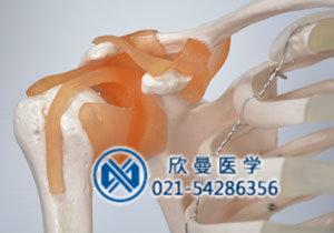 模型的韧带结构