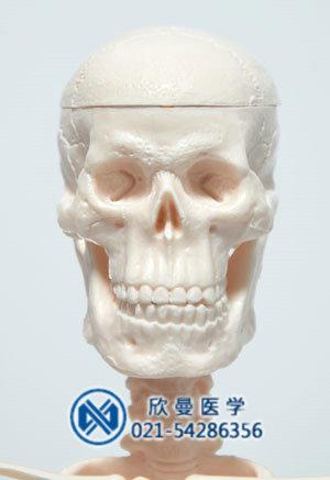 模型头颅骨结构