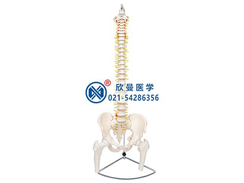 XM-129A脊柱带骨盆与股骨头(半腿骨)模型