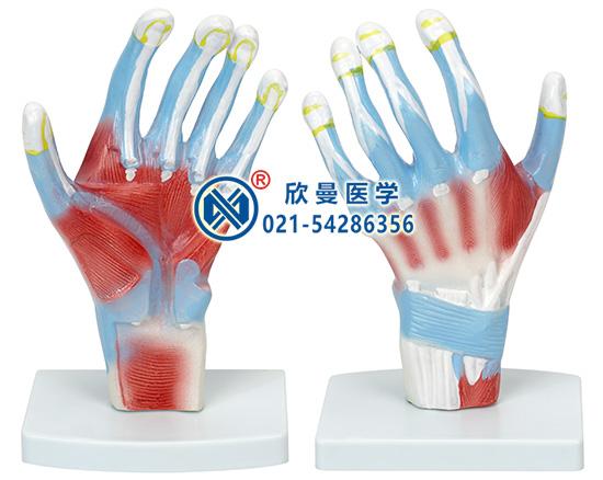 手掌解剖模型(示拇收肌)