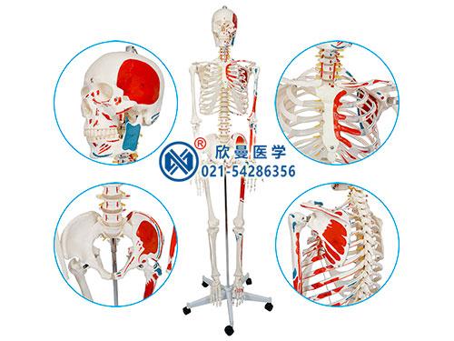 XM-108人体骨骼附半边肌肉着色模型