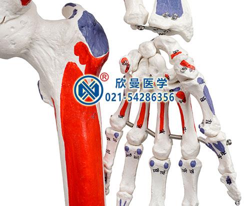 人体骨骼附关节韧带和肌肉起止点着色模型(手关节)