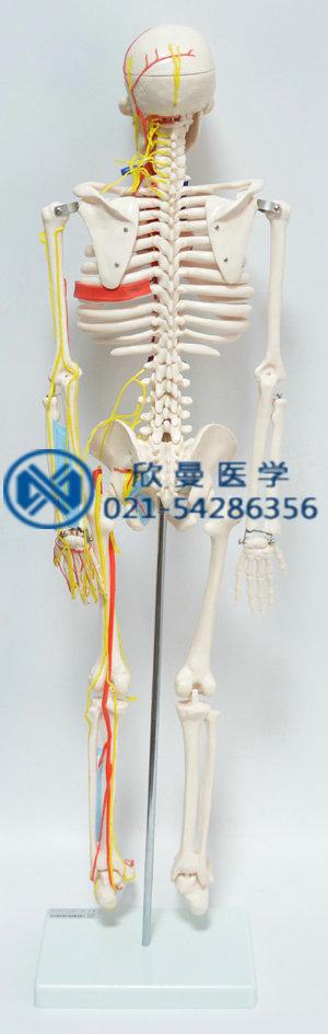 人体骨骼附主要动脉和神经分布模型背部结构