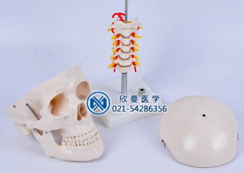 头颅骨带颈椎模型分解为3部件