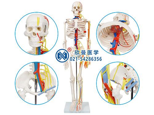 XM-106人体骨骼带神经与血管模型,人体骨骼带心脏血管模型
