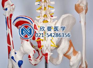 骨盆骨骼结构