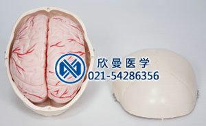 头颅骨带脑动脉模型的动脉分布情况