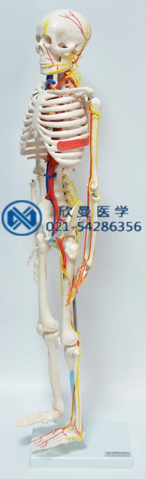 人体骨骼附主要动脉和神经分布模型左侧血管神经分布