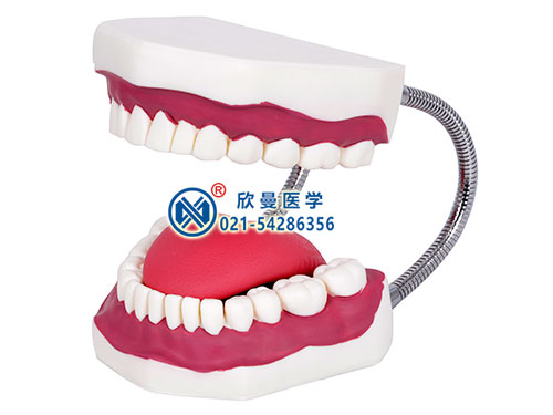 口腔护理模型整体结构