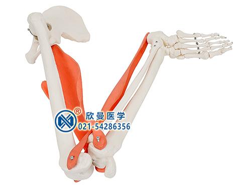 XM-307肌肉定点、动点、动态模型