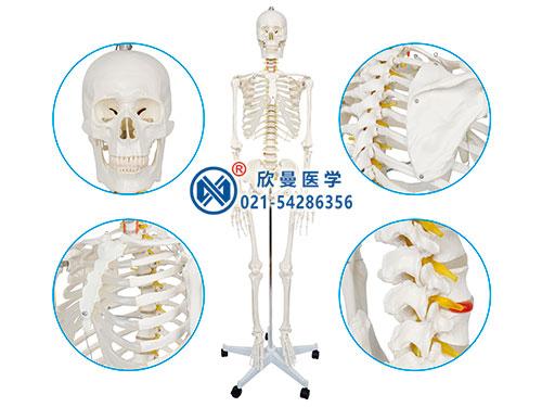 XM-101男性人体骨骼模型,男性全身人体骨骼模型