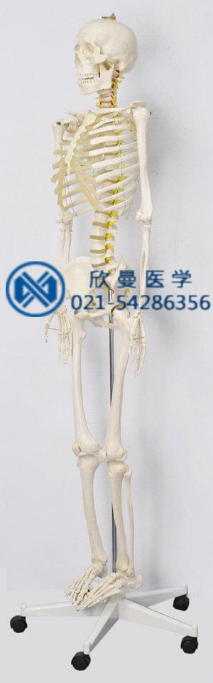 女性人体骨骼模型整体结构特征