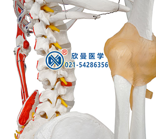 人体骨骼附关节韧带和肌肉起止点着色模型(脊柱部分)