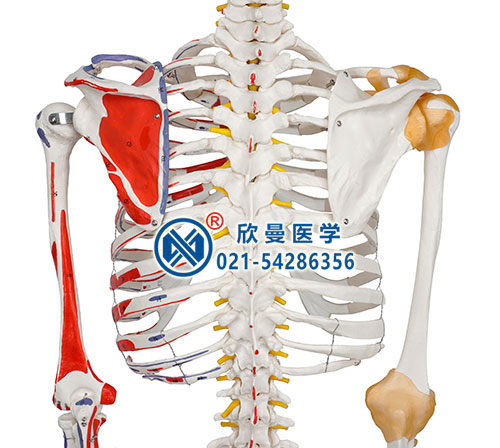 人体骨骼附关节韧带和肌肉起止点着色模型细节1