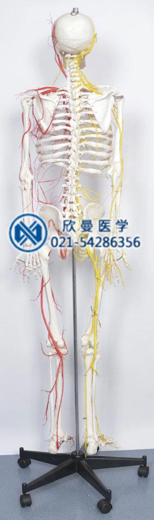 人体骨骼附主要动脉和神经分布模型侧面结构