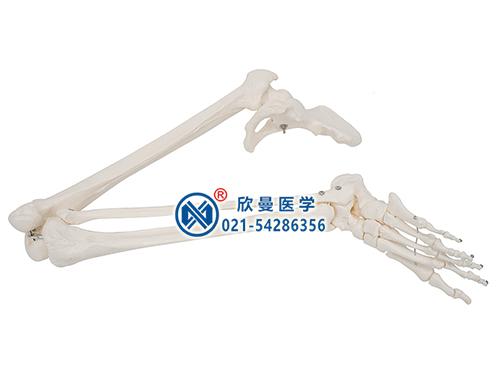 下肢骨连髋骨模型