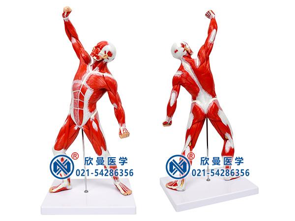 人体全身肌肉运动模型