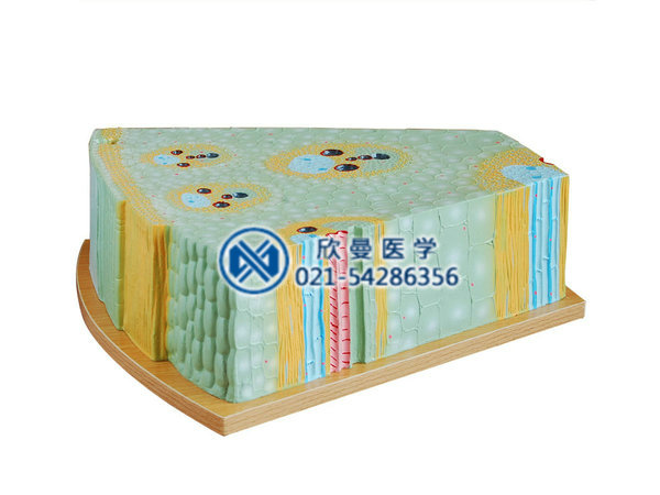 XM-859单子叶植物茎模型取材于玉米茎,示单子叶植物纵横切面的解剖结构,包括表皮、管束、基本组织。纵剖面上示环纹、螺筛、孔纹导管和筛管,筛管和结构示厚壁、薄壁等各种类型细胞的结构。 包装:1件/箱,49x45x34cm,5kgs