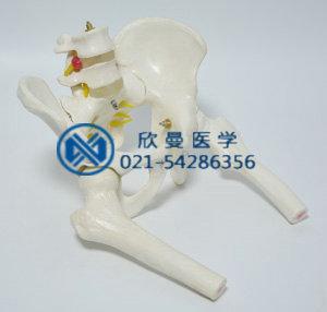 骨盆附腰椎与股骨头模型整体结构
