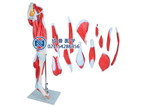 下肢肌肉附主要血管神经模型