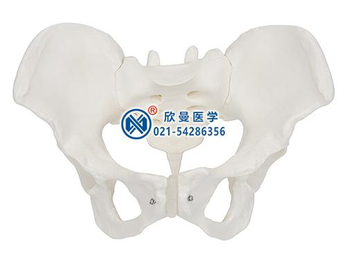 XM-131女性骨盆模型