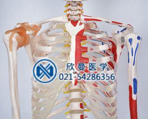 模型胸肋骨结构