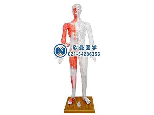 XM-178人体针灸模型