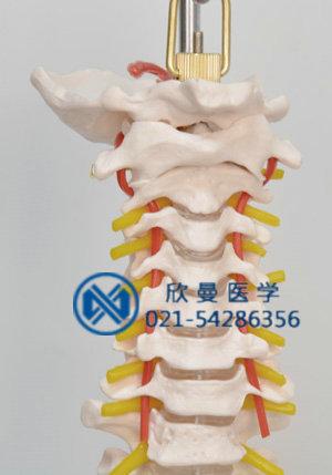 模型颈椎部位结构