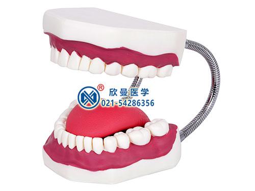 XM-KQ口腔牙齿护理模型,口腔护理模型