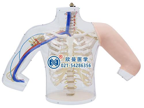 上臂肌肉注射及对比模型整体结构